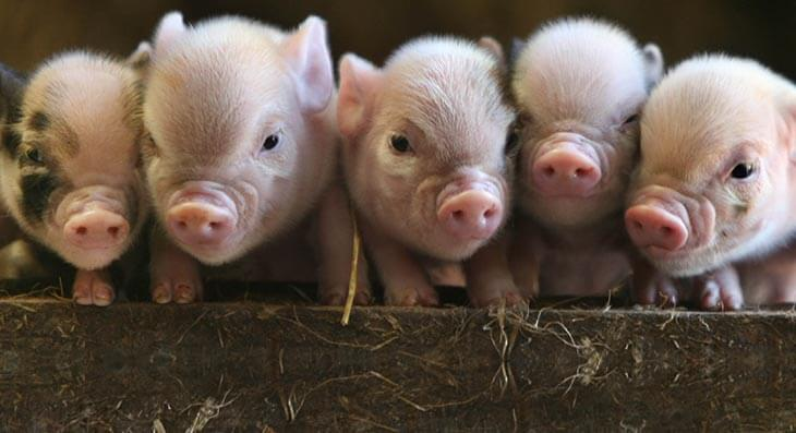 "Kinver High to raise, slaughter and butcher pigs in new ""life lessons"" class"